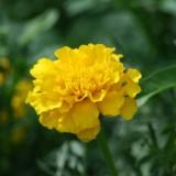 黄色いカーネーション