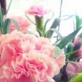 ピンク色のカーネーション