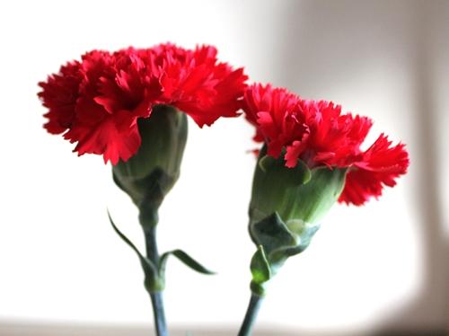 母の日に贈る花の花言葉を知ると知らないとでは大違い!?